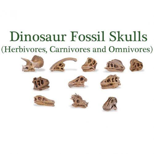 Fossil skulls of dinosaurs.